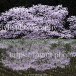 奈良県にある諸木野の桜とリフレクションが美しい