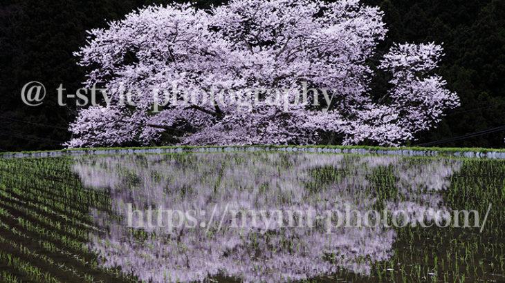 奈良県諸木野の桜