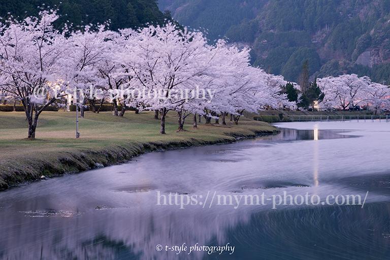 奈良県下北山村の桜並木のリフレクションと花筏