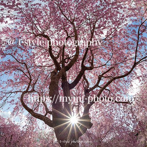 高見の郷の枝垂れ桜と光芒