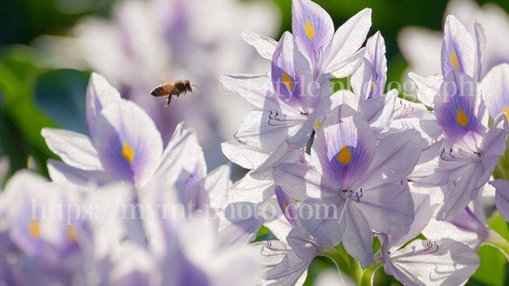 本薬師寺跡で撮影したホテイアオイと蜂