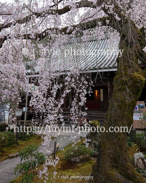 お寺と枝垂れ桜