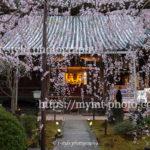 このお寺の枝垂れ桜はまるで桜が降り注いでいるかのような美しさだった