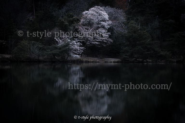 水面に反射する桜