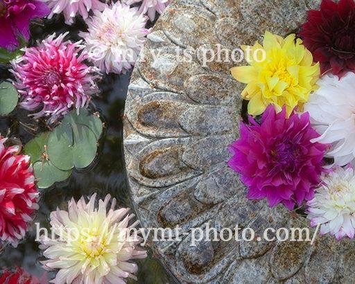 岡寺(龍蓋寺)の天竺牡丹が浮かぶ華の池を撮ってきた
